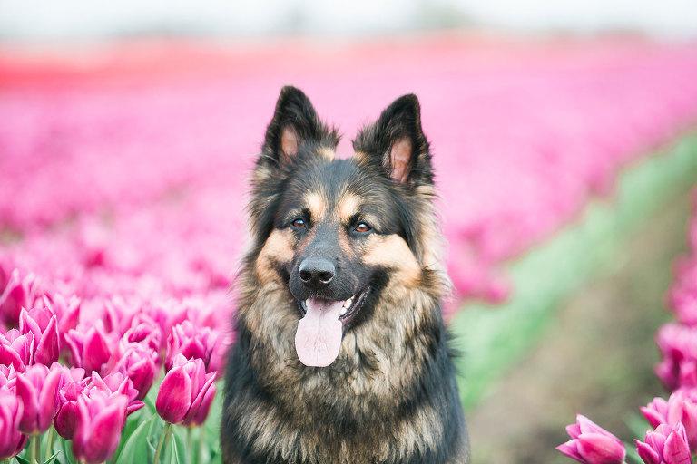 fotograaf-noord-holland-alkmaar-hoorn-hond-tulpen